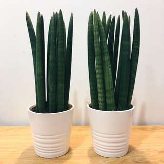 😱MODERN Cylindrical Sanseveria (Suitable indoors! Includes Ceramic Pot!)😍