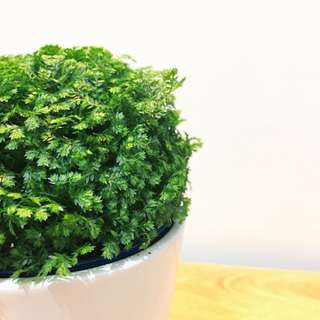 🌳MODERN Selaginella Moss (Suitable Indoors! Includes ceramic pot!)😍