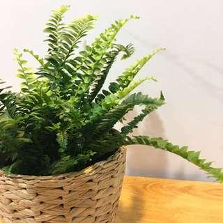 🌿COTTAGE Boston Fern (Suitable Indoors! Includes Cottage Basket Pot)😍