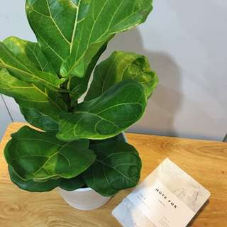 🌲MODERN Fiddle Leaf Fig (Suitable Indoors! Includes ceramic pot!)😍