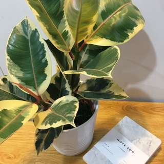 🍁MODERN Variegated Rubber Plant (Suitable Indoors! Includes Ceramic Pot!)😍