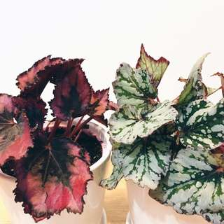 😍CLASSIC Begonia Leaf (Suitable Indoors! Includes ceramic pot!)🌿