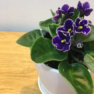 💐CLASSIC African Violet (Suitable Indoors! Includes ceramic pot!)😍