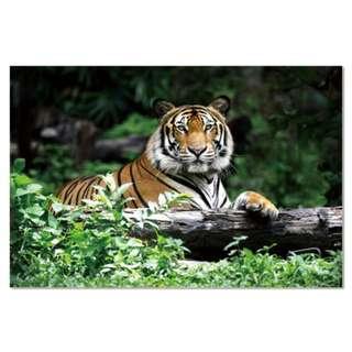 Tiger Acrylic Print 1 Piece