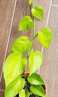 Money Plant/Aloe Vera/Tomato Plant