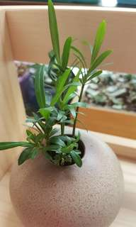 羅漢松+粗陶瓶 小盆栽 (水栽)