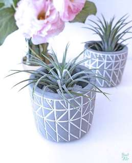 Concrete Planter: Lines with air plant