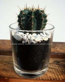 Kaktus mini murah include pot cantik