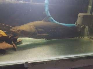 Ikan Predator Tapah