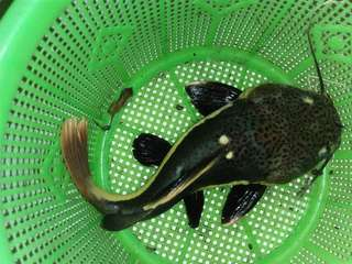 Ikan Predator Red Tail Catfish