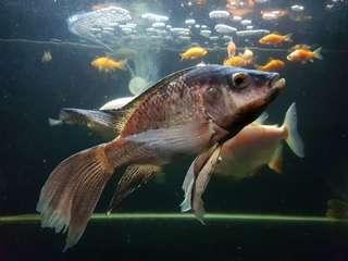 Ikan Predator Nila Slayer