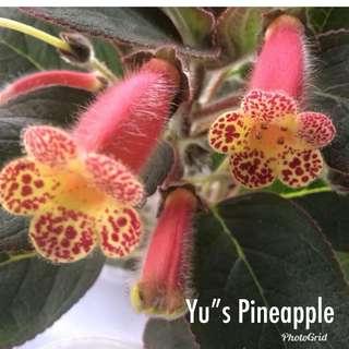 """(Available) Kohleria """"YU's Pineapple """""""