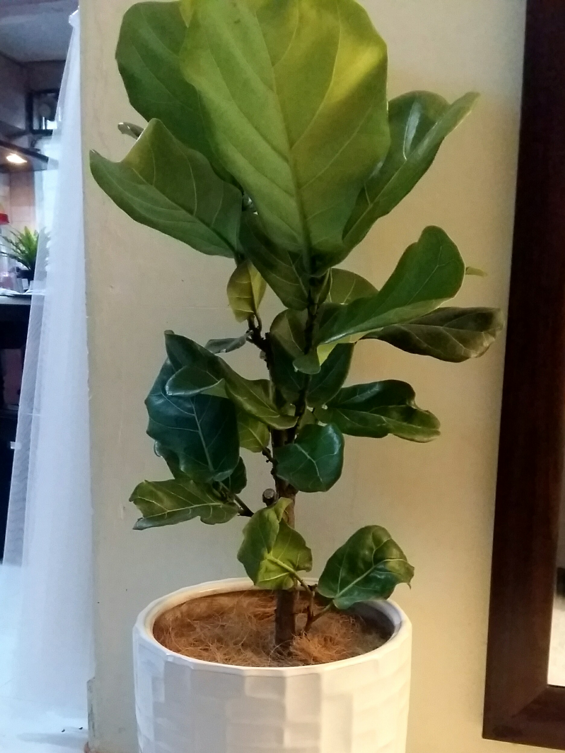 Fiddle Fig Plants With White Elegant Pot Home Furniture