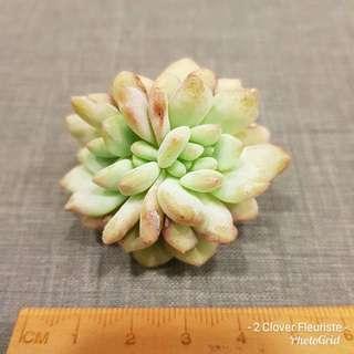 Rare succulent - Echeveria Ariel