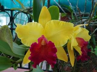 Cattleya Orchid Blc Alma Kee