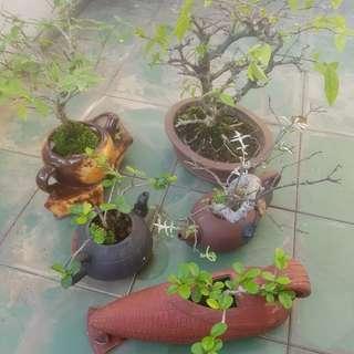 Bonsai - last day quick sale