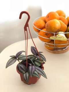 Wandering Jew Plant in Hanging Pot