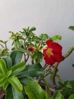 Desert rose (few colors in a pot)