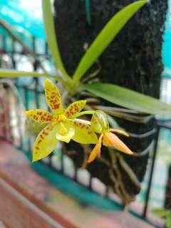 phalaenopsis cornu cervi 2