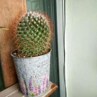 Cactus 🌵 _ Real Plant _ Stock 1 Pot