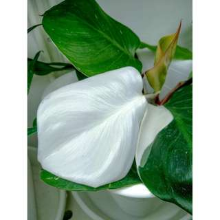"Philodendron ""White Knight"""