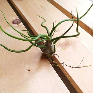Limited Offer: T. Bulbosa/ air plant/ curly/ table deco