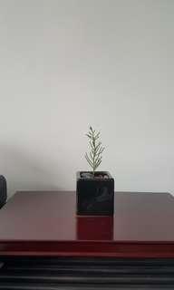 Mini Small Juniper Plant