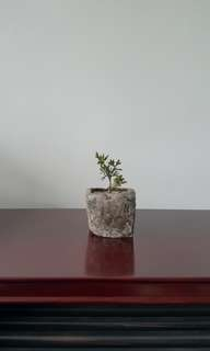 Mini Small Juniper Plant