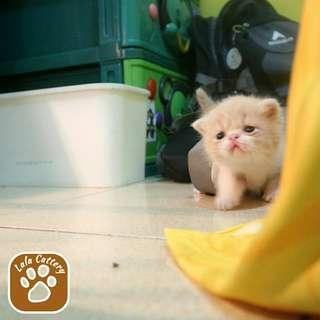 Jual kucing persia exotic