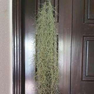 Spanish Moss Airplants