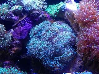 marine coral(hammer)