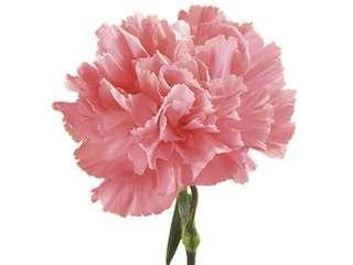 10 stalks Carnation bouquet