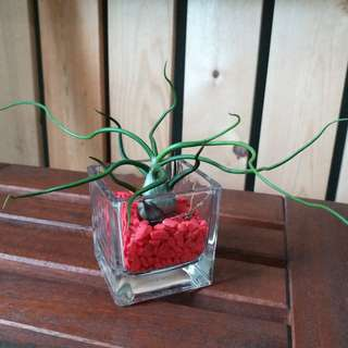 Mother's Day Special: T. Bulbosa + vase/ air plant/ curly/ table deco