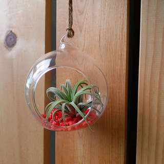 Mother's Day Special : T. Ionantha Honduras + glass globe / hanging deco/ air plant
