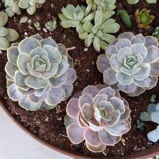 Succulents (blue surprise)