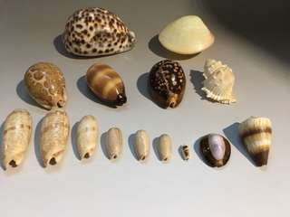 貝殼15個