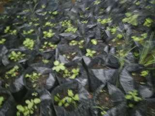 bibit tanaman aeroponkk
