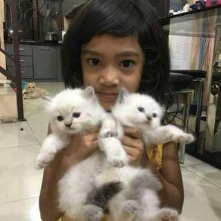Kucing Himalaya, 2 Bln, Sehat, Jantan & Betina
