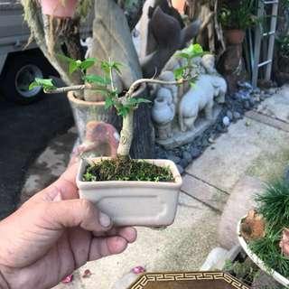 Mini shui mei bonsai