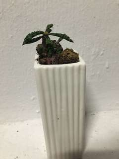 Euphorbia Decaryi Mini Bonsai