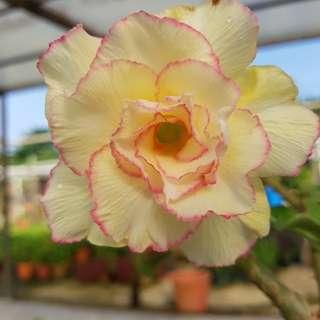 Adenium 富贵花