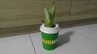 Air Purifying Plant - Snake Plant