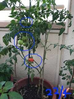 Tomato plant with fruits & flowers