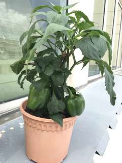Green Capsicum in a pot