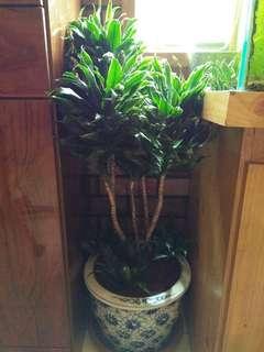 阿波羅 千年木盆栽