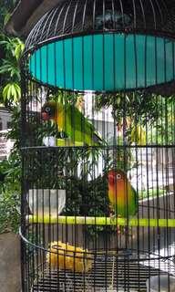 Burung loveberd
