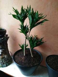 阿波羅室內植物