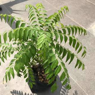 Curry leaves plant & Curry leaf tree in a pot