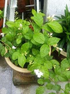 GARDENING - Freshly Harvest Jasmine Flowers/Cuttings For Sale