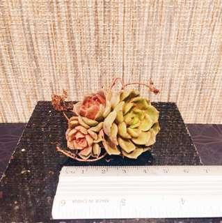 Succulent Plant 🍀